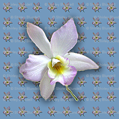 Orchid -white