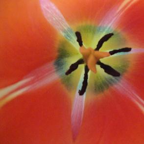 Inside a closed tulip