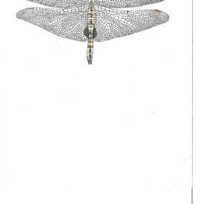 Spotwinged_glider