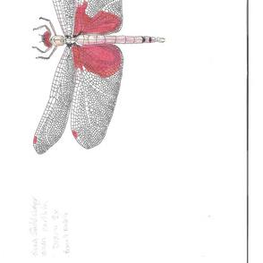 Carolina_saddlebags dragonfly