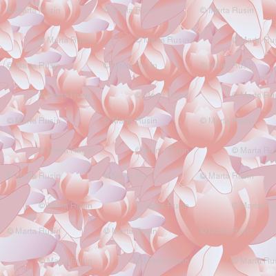 lotus blooms in pink