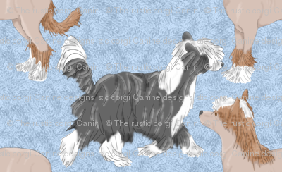 Chinese crested puppies - blue