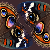 Buckeye Butterfly Wings