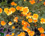 Rmanypoppies_thumb