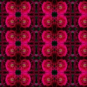 Fushia Rose