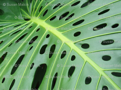 Monstera Leaf Philodendrum
