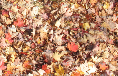 Autumnal Fallen Leaves