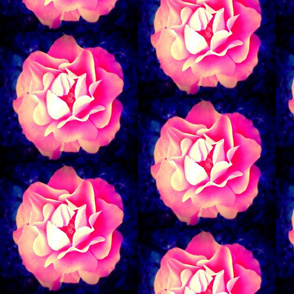 Apricot/peach coloured rose, blue background