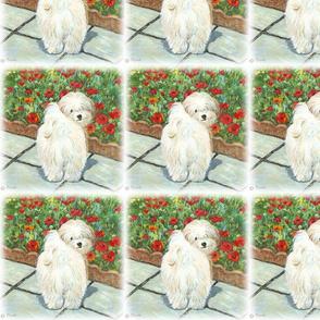 Havanese Dog & Poppies