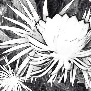 night-blooming cereus, black white