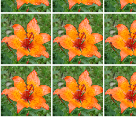 Orange lily with white border fabric by claredances on Spoonflower - custom fabric