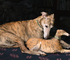 Greyhound Pillow Panel - Fawn Spots Male