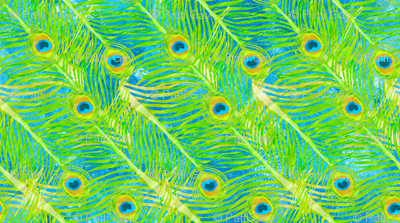 peacock_feathers-