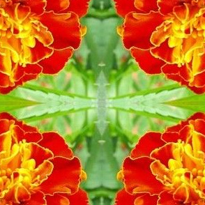 French Double Marigold Close-up