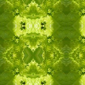Slobolt Lettuce