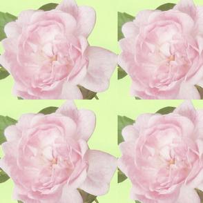 pinkyroses