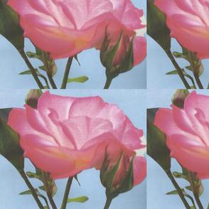 pink_rose_blue_background