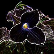 GlowingTrillium