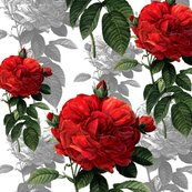 Rrredoute_red_4_inch_rose_at_300dpi_shop_thumb