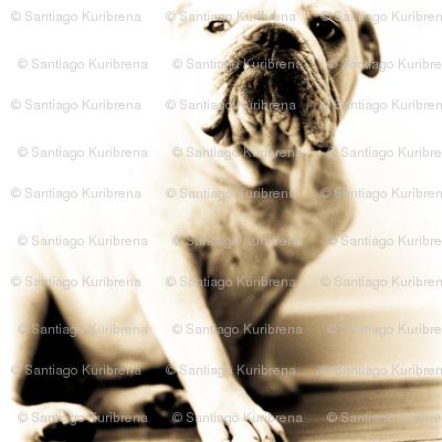 Bulldog Petunia posing