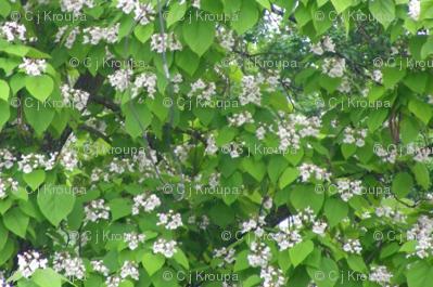 Catalpa in Bloom