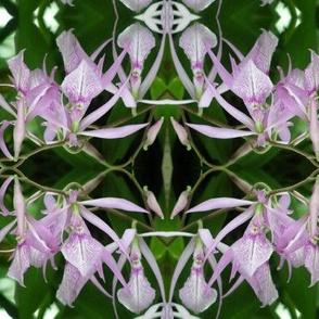 Lavender Orchids