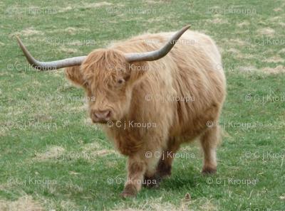 Highland Coo (Blonde)