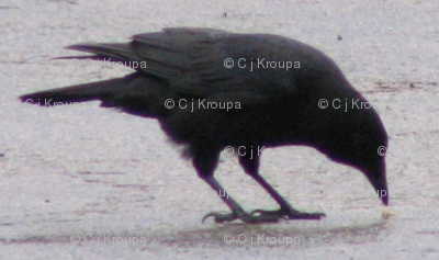 Pecking Crow