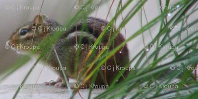 Chiipmunks in the Grass