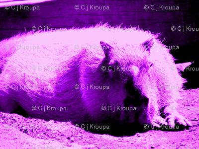 Hyrax Dreams (purple)