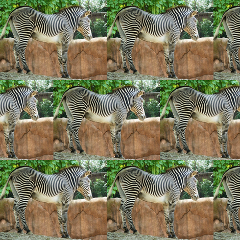 Zebra fabric by ravynscache on Spoonflower - custom fabric