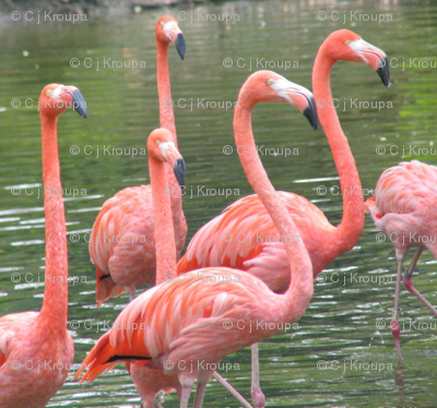Flamingo Dance