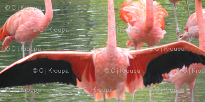 Flamingo Wings Geometric
