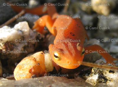 Mr. Salamanderz