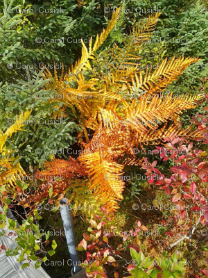 Autumn Ferns