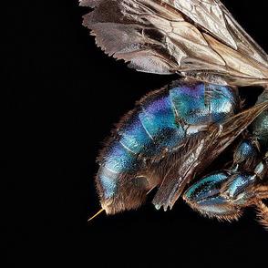bee Hoplitis female