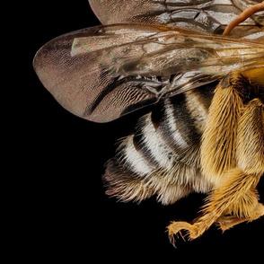 Bee Melissodes communis_male_bee_8133504155_92324b1515_o