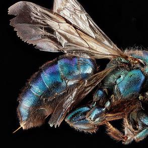 Bee-Hoplitis female