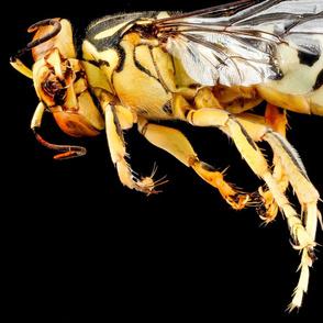 Bembix americana female bee