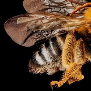 Bee Melissodes communis male