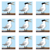 Screaming Tern