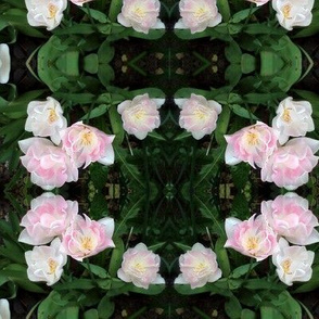 Pale Pink Tulips nestled in green
