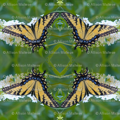 Swallowtail Butterfly_9612