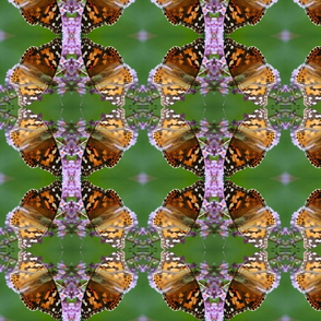 Painted Lady Butterflies_0040