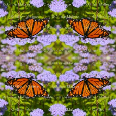 Monarch Butterflies_1664