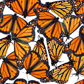 Monarch flock of butterflies