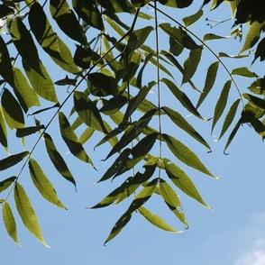 Locust Leaves