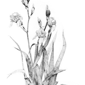 Iris plant drawing