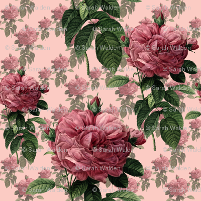 Redoute' Roses ~ Sweet Pink ~ Large