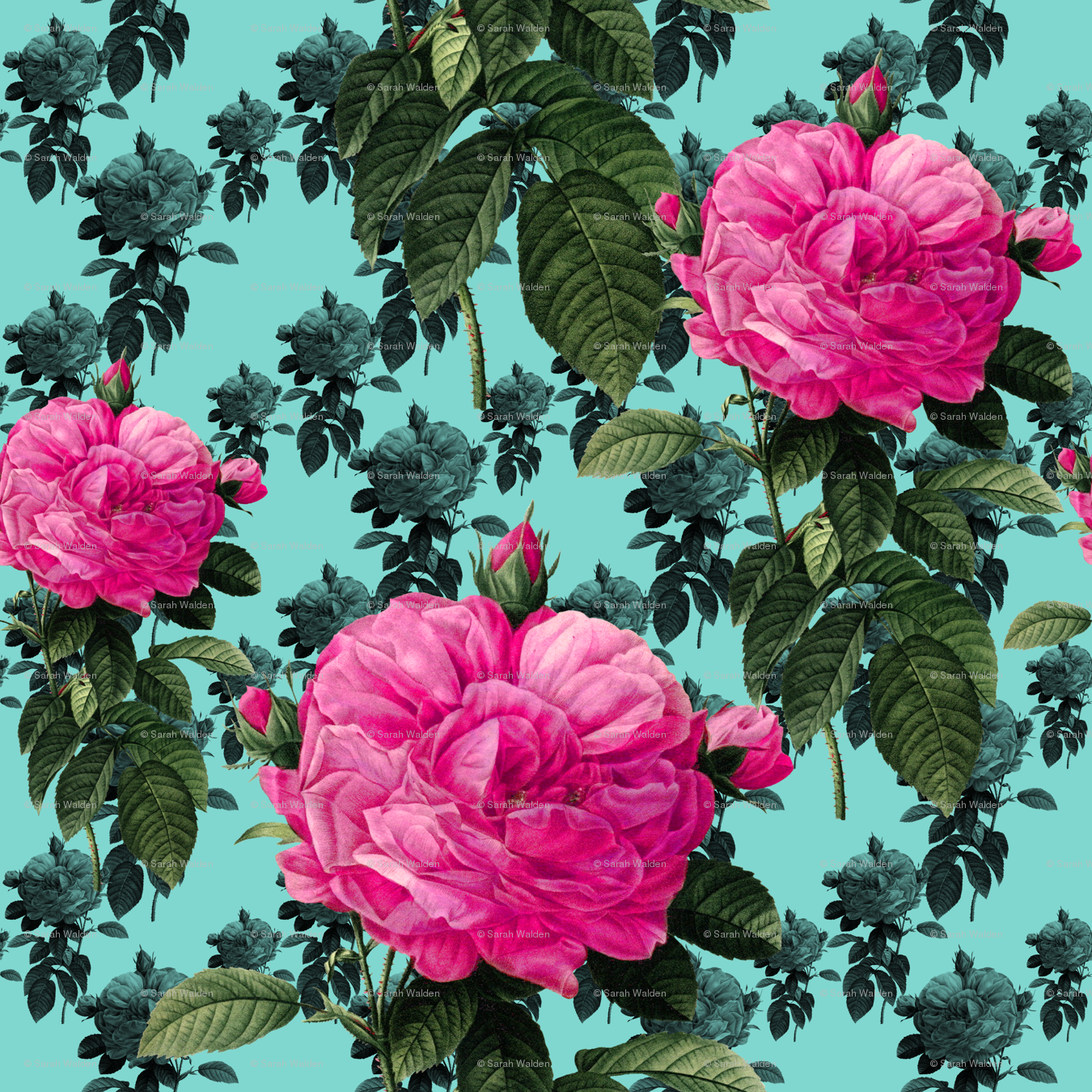 Redoute Roses Bright Pink Robins Egg Blue Wallpaper